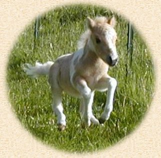 Dutchman's Contessa- one of our 2004 mini foals
